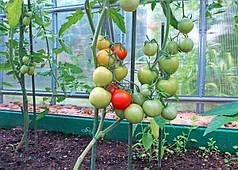 Недостатки выращивания помидоров в культивационных сооружениях