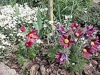 Саженцы Сон-трава (Сазанка, Прострел), фото 1