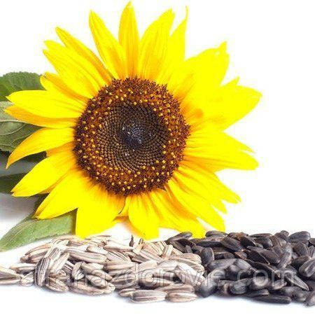 Полезные свойства семечек подсолнуха