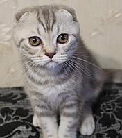 Шотландский вислоухий котенок Мальчик - 4  мес.