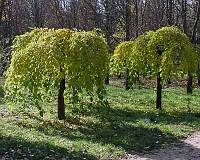 Саженцы шелковицы плакучей черноплодной