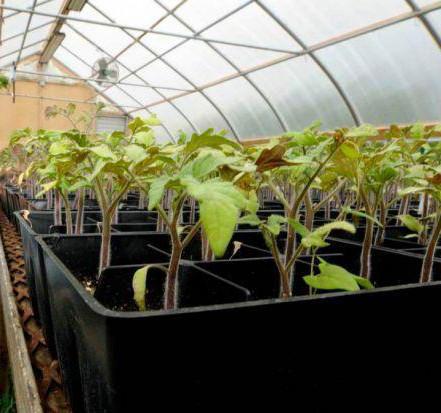 Растения  в индивидуальной таре для дезинфекции