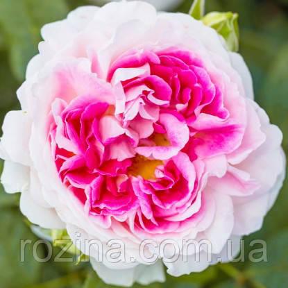 Роза Гернси крем