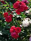 Роза Пиано, фото 3