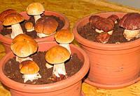 Мицелий белого гриба (боровик)