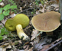 Мицелий Моховика зелёного, Xerocomus subtomentosus