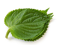 Шисо листья зеленые свежие