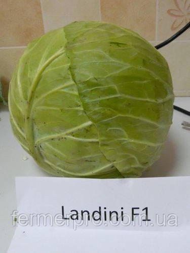 Семена капусты Ландини F1 2500 семян Hazera