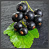 Ароматизатор TPA Black Currant