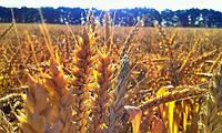Пшеница Шестопаловак