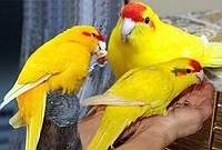 Новозеландский  попугай Какарик (Cyanoramphus novaezelandiae) Желтого цвета