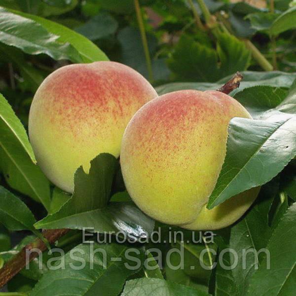 Саженцы персика Онтарио Вайс (Канада)