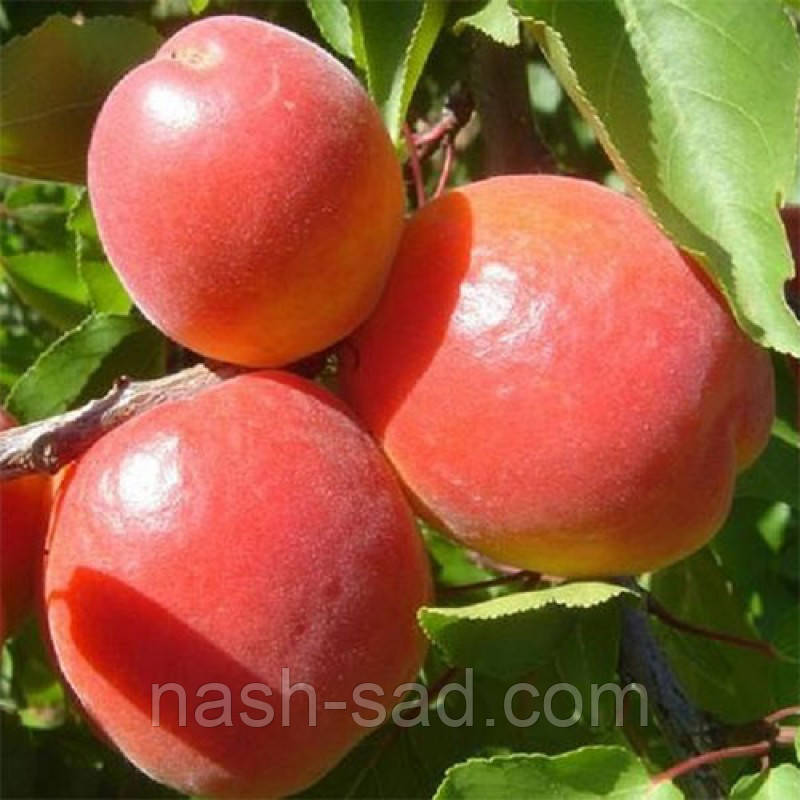 Саженцы абрикоса Эрли Блуш (Франция)