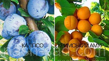 Саженец абрикоса Крымский Амур (Украина) + слива Калипсо