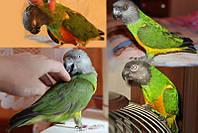 Сенегальский попугай, Сенегалец-ручной выкормыш.
