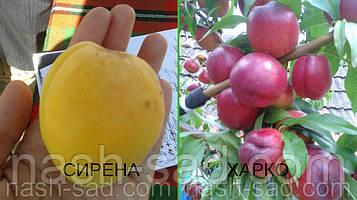 Саженцы абрикоса Сирена + нектарин Харко
