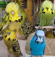 Выставочный волнистый попугай Чех