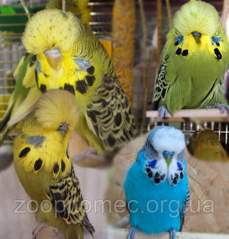 Волнистые попугаи украина