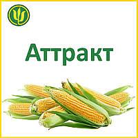 Семена кукурузы Аттракт (ФАО 230) - МАИС 2017