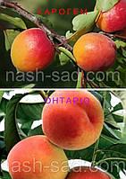 Саженцы абрикоса Харогем + персика Онтарио