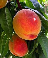 Саженцы персика Т-3 (Винни голд) (Канада)