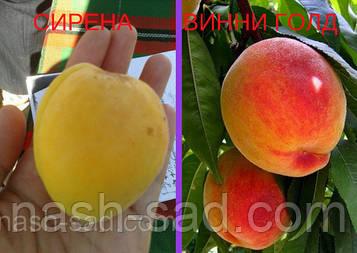 Саженцы абрикоса Сирена + персик Т-3(Винни голд)