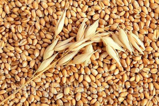 Пшеница Новосмуглянка Элита