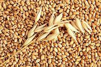 Пшеница Дарунок Поділля Элита