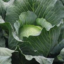 Семена капусты б/к Бронко F1 (2500 сем.) Bejo