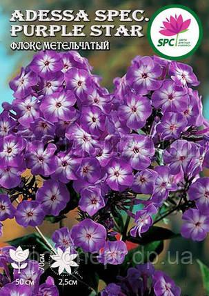 Флокс метельчатый Adessa Spec.Purple Star, фото 2