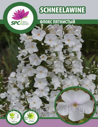 Флокс метельчатый Schneelawine, фото 2