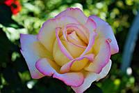 Саджанці троянд Глорія Дей (Глория Дей, Gloria Dei)