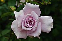 Саджанці троянд Блакитний Ніл (Blue Nile, Голубой Нил)