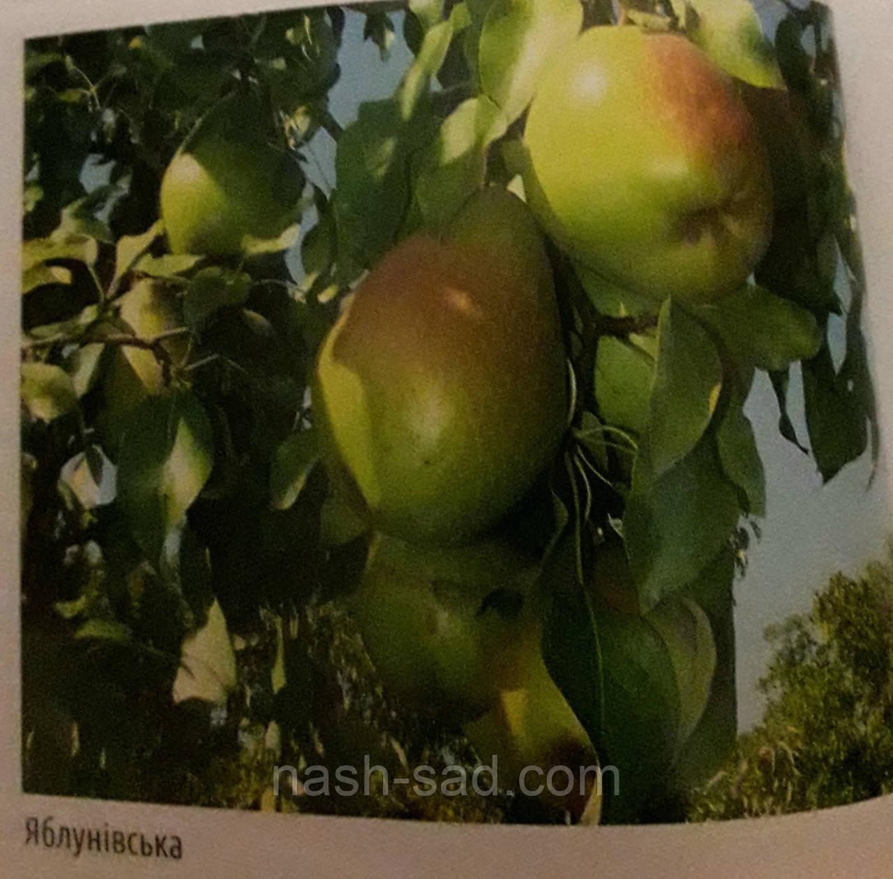 Cаженцы груши Яблунивская ( Украина )