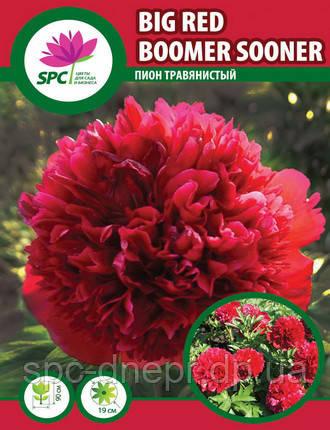 Пион травянистый Big Red Boomer Sooner, фото 2