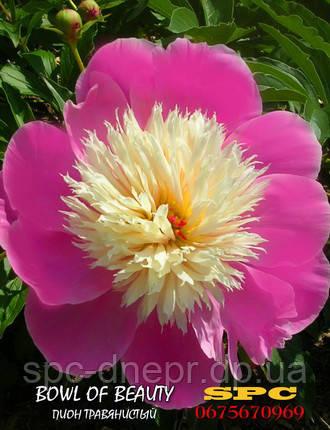Пион травянистый Bowl of Beauty, фото 2