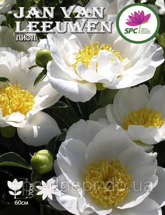 Пион травянистый Jan van Leeuwen, фото 2