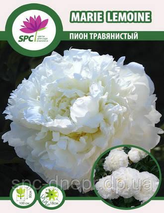 Пион травянистый Marie Lemoine