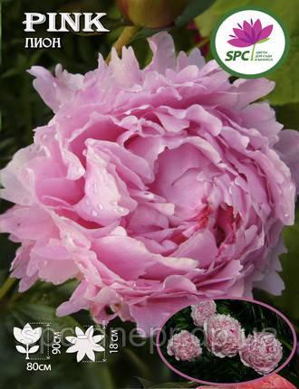 Пион травянистый Pink, фото 2