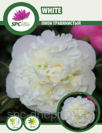 Пион травянистый White, фото 2