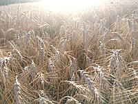 """Пшеница """"Шестопаловка"""" (элита)"""