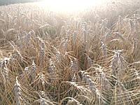 """Пшеница """"Шестопаловка"""" (1 репродукция)"""