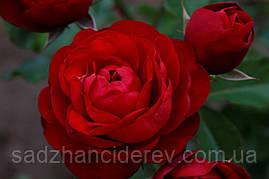 Саджанці троянд Торнадо (Tornado)
