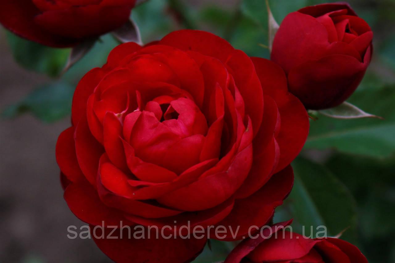 """Саджанці троянд Торнадо (Tornado) """"Відео"""", фото 1"""