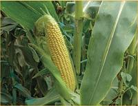 Семена кукурузы сахарной 3517 F1 Lark Seeds от 2 500 шт
