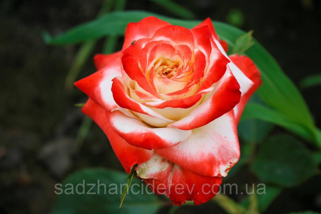 Саджанці троянд Імператриця Фарах (Imperatrice Farah, Императрица Фарах)