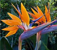 Стрелитция Райская птица семена (2шт)