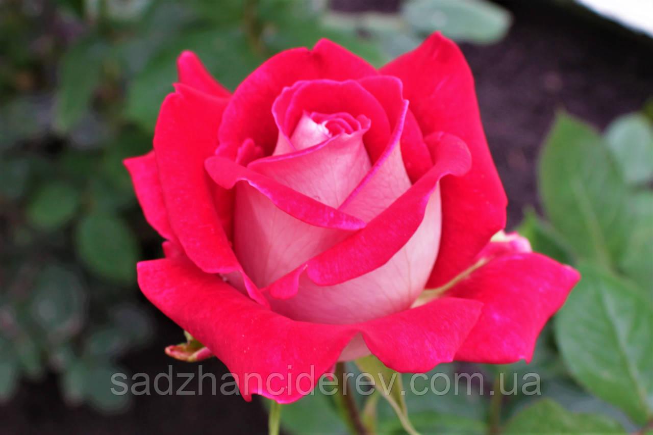 Саджанці троянд Люксор (Luxor)