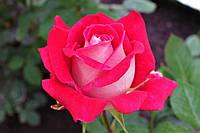 Саджанці троянд Люксор (Luxor), фото 1
