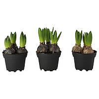 IKEA HYACINTHUS (503.299.24) Горшечный цветок, 3 луковицы, гиацинт разных цветов